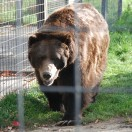 Grizzly im BC Wildlife Park in Kamloops